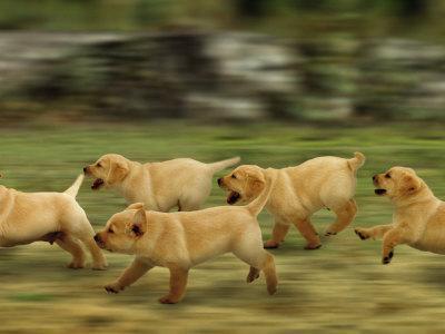 Domestic Dogs, Labrador Puppies Running