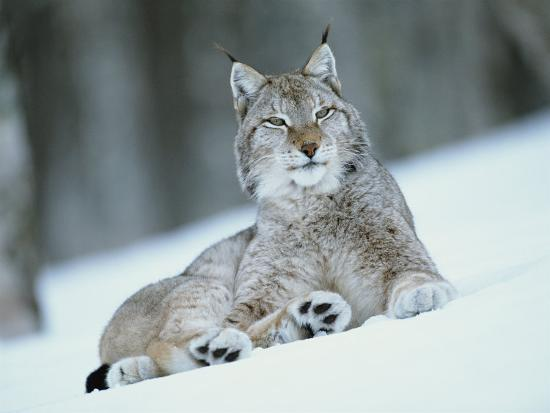 European Lynx In Snow Norway Photographic Print By Pete