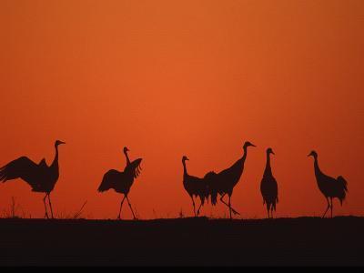 Common Crane Group Dancing Before Sunrise, Hornborga Lake, Sweden, Europe