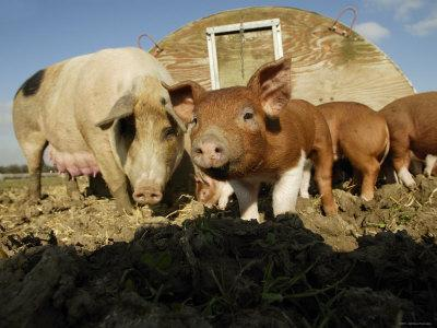 Free Range Organic Pig Sow with Piglets, Wiltshire, UK