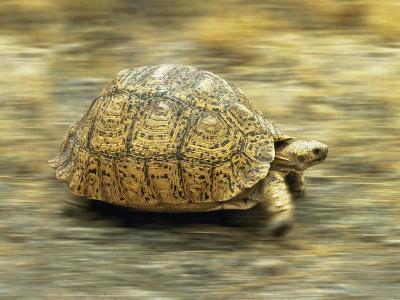 Leopard Tortoise (Geochelone Pardalis) Running
