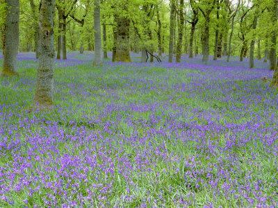 Bluebells Flowering in Beech Wood Perthshire, Scotland, UK