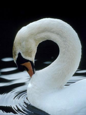 Mute Swan Male Preening, UK