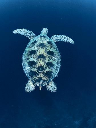 Green Sea Turtle, Indo Pacific