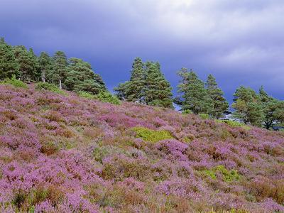 Pine Woodland and Heather, Abernethy RSPB Reserve, Cairngorms National Park, Scotland, UK