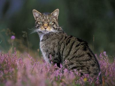Wild Cat Portrait Amongst Heather, Cairngorms National Park, Scotland, UK