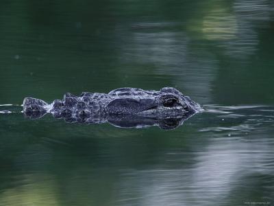 American Alligator Submerged, Sanibel Is, Florida, USA