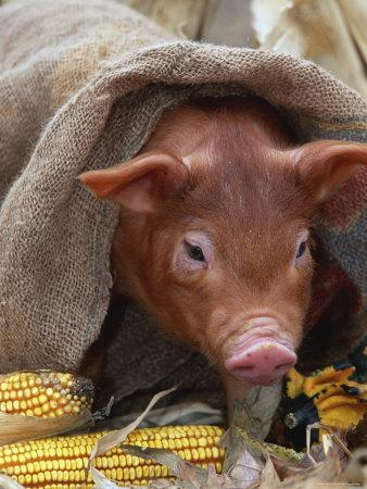 Domestic Pig in Sack, Mixed Breed, USA