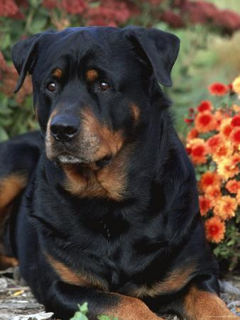 Rottweiler Dog Portrait, Illinois, USA