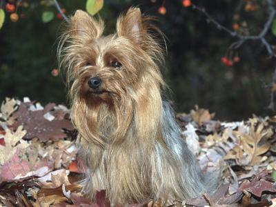 Yorkshire Terrier Dog, Illinois, USA