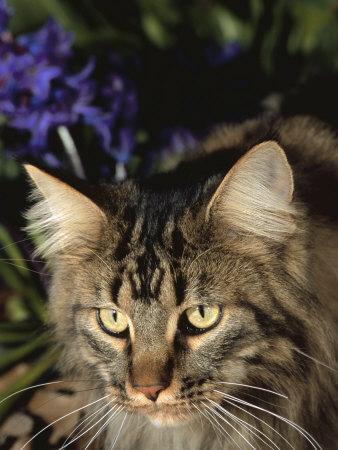 Maine Coon Domestic Cat, USA