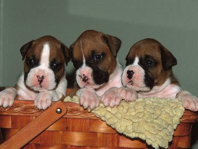 Three Boxer Puppies, USA