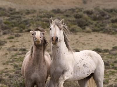 Mustang / Wild Horse, Grey Stallion and Filly, Wyoming, USA Adobe Town Hma