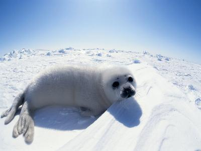 Harp Seal Pup on Ice, Magdalen Is, Canada, Atlantic