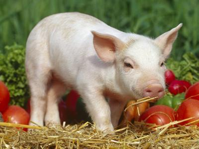 Domsetic Piglet with Vegetables, USA