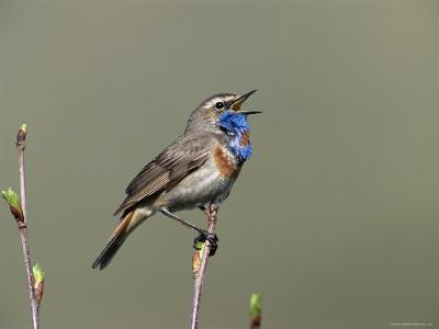 Bluethroat, Male Singing, Switzerland