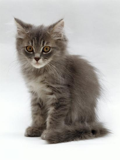 Domestic Cat 10 Week Grey Tabby Persian Cross Kitten