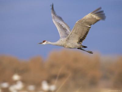 Sandhill Crane in Flight, Bosque Del Apache National Park, NM, USA