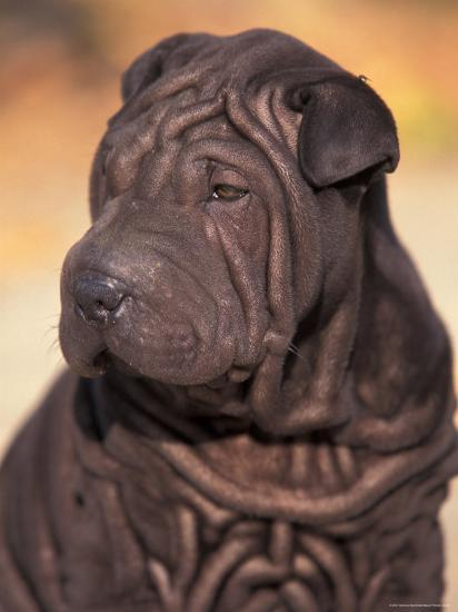 Black Shar Pei Puppy Portrait Showing Wrinkles On The Face