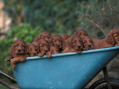 Domestic Dogs, a Wheelbarrow Full of Irish / Red Setter Puppies