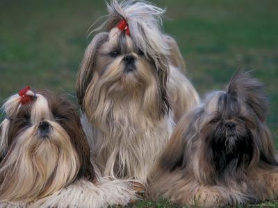 Domestic Dogs, Three Shih Tzus Sitting or Lying on Grass with Their Hair Tied Up