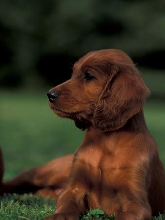 Irish / Red Setter Puppy Lying on Grass