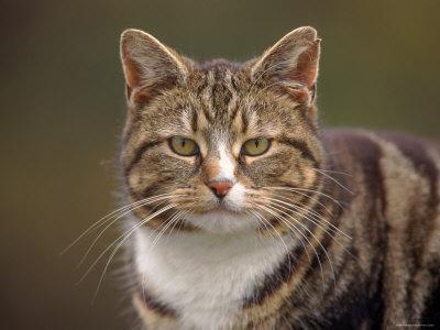 Domestic Cat (Felis Catus), Wester Ross, Scotland