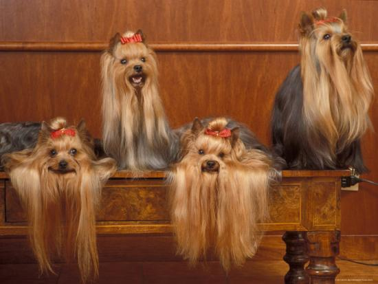 Domestic Dogs Four Yorkshire Terriers On A Table With Hair Tied Up