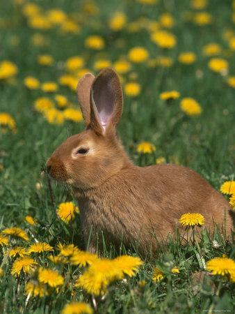 New Zealand Breed of Domestic Rabbit, Amongst Dandelions