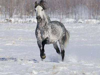 Grey Andalusian Stallion Trotting in Snow, Longmont, Colorado, USA