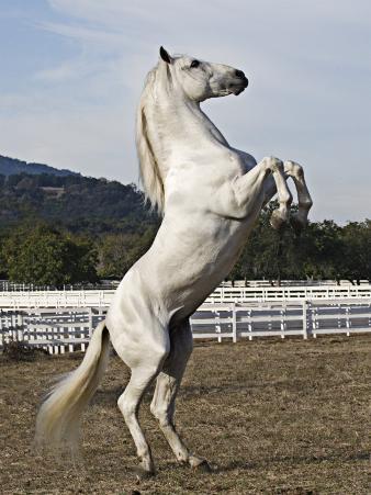 Grey Andalusian Stallion Rearing, Ojai, California, USA