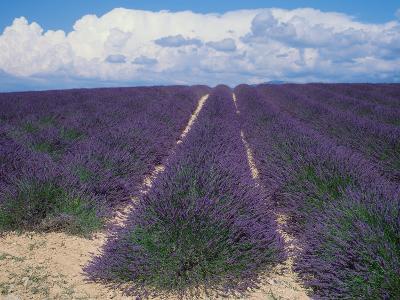 Lavender Field in Flower, Provence, France (Lavendula Angustifolia)