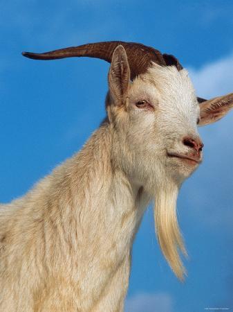 Domestic Goat Head Portrait, Europe