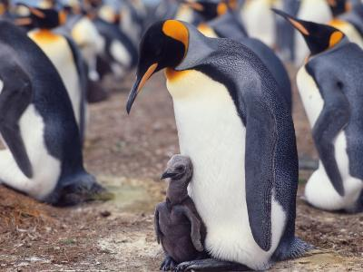 King Penguin with Young Chick (Aptenodytes Patagonica) South Georgia
