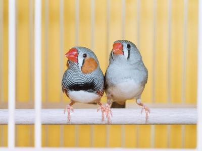 Spotted Sided Zebra Finches, Pair in Cage (Poephila / Taeniopygia Guttata)