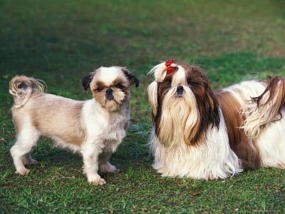 Two Shih Tzus, One Has Been Clipped and the Other with Groomed Long Hair