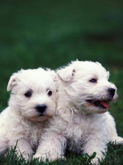 Domestic Dogs, Two West Highland Terrier / Westie Puppies Sitting Together