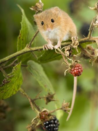 Harvest Mouse Perching on Bramble with Blackberries, UK
