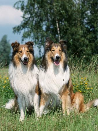 Two Collie Dogs