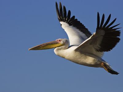 Great Eastern White Pelican Flying, Chobe National Park, Botswana