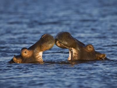 Two Hippopotamus Play Fighting, Chobe National Park, Botswana