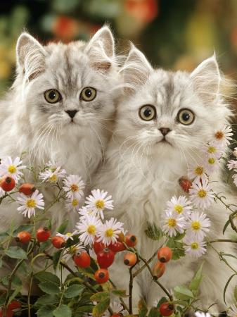 Domestic Cat, Two Silvertabby Persian Kittens Among Michaelmas Dasies and Rose Hip
