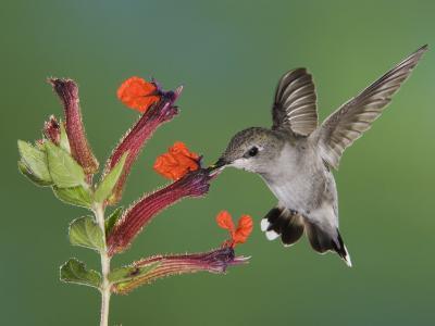 Anna's Hummingbird Female in Flight Feeding on Flower, Tuscon, Arizona, USA