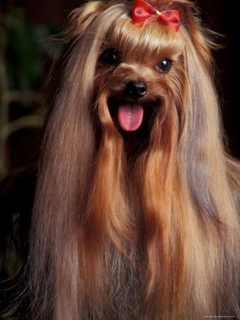 Yorkshire Terrier with Hair Tied up and Panting