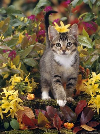 Domestic Cat, 12-Week, Agouti Tabby Kitten Among Yellow Azaleas and Spring Foliage