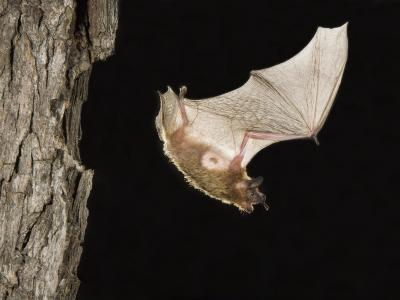 Evening Bat Flying at Night from Nest Hole in Tree, Rio Grande Valley, Texas, USA