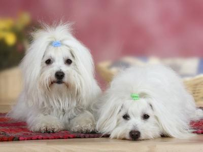 Two Coton De Tulear Dogs Lying on a Rug
