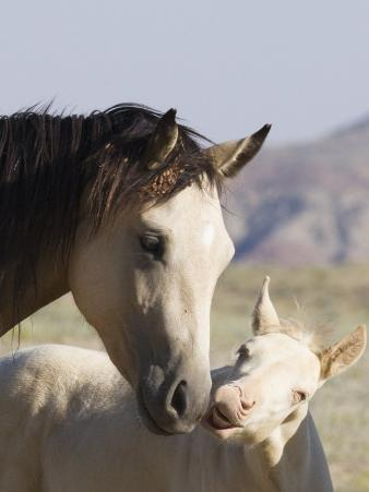 Wild Horse Mustang, Cremello Colt Nibbling at Yearling Filly, Mccullough Peaks, Wyoming, USA