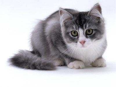 Domestic Cat, 5-Month Silver Bicolour Chinchilla-Cross