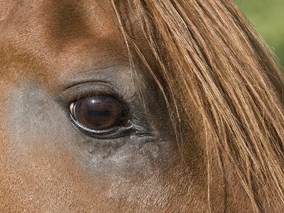 Close Up of Eye of Chestnut Peruvian Paso Stallion, Sante Fe, New Mexico, USA